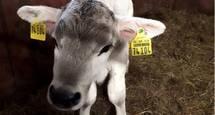 Kuh-Nachwuchs