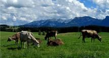 Alpenseehof Kühe