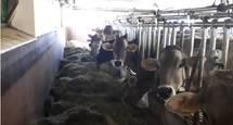 Kühe im Stall
